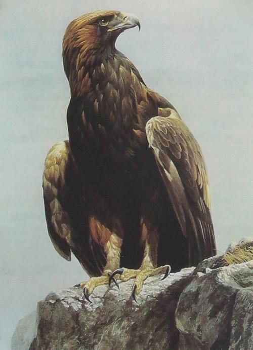 Hot Tears : Eagle