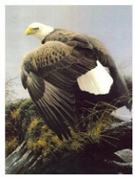 Hot Tears : Bald Eagle